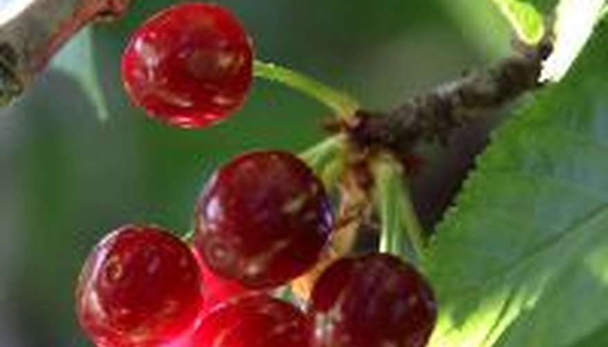 Sweet cherries often ripen to a much darker red than sour cherries.