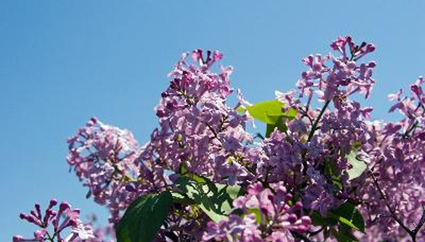 Lilacs bloom in early spring and should be trimmed after blooming.