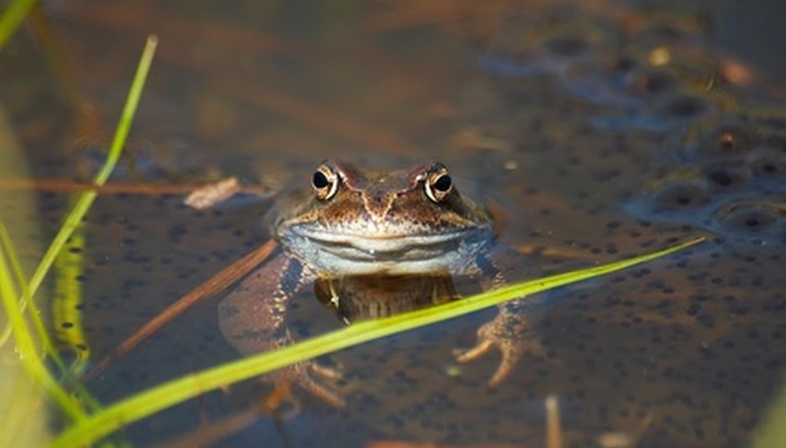 Many frogs must lay their eggs in water.