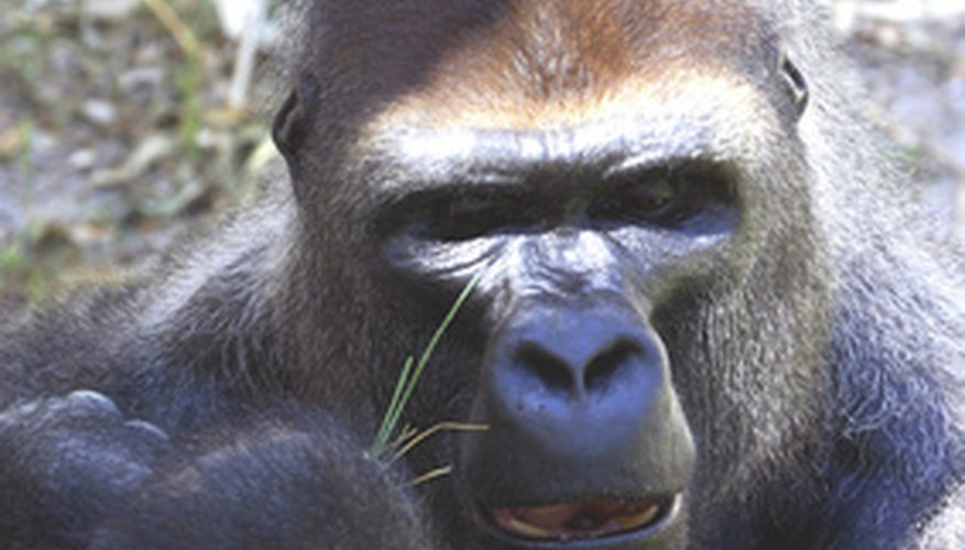A Silverback is the leader of the troop.