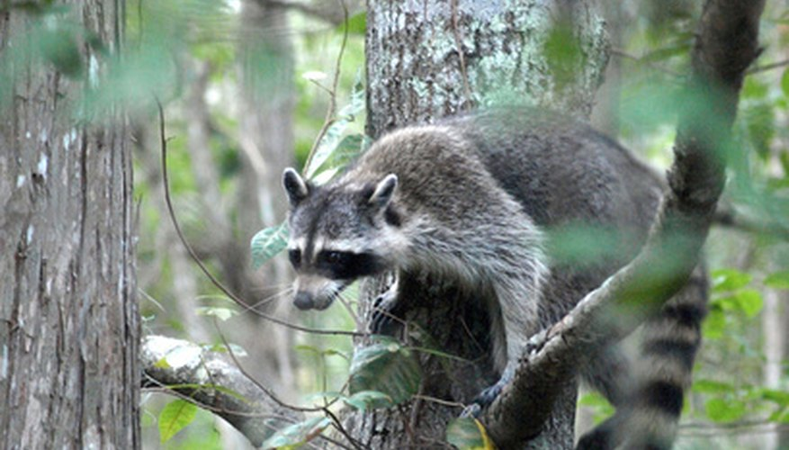 "The ""masked bandits"" often damage roofs in order to nest."
