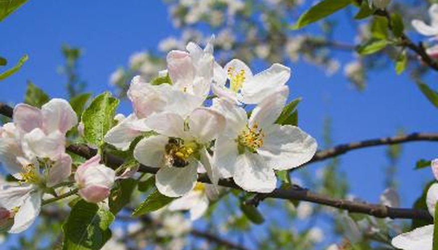 The high nectar content in the bee bee tree is irresistible to honey bees.