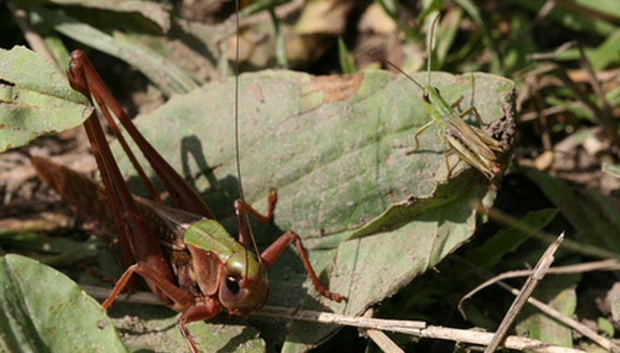 Grasshoppers that migrate in swarms are called locusts.