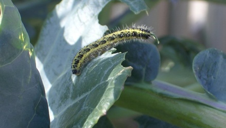 Caterpillars and other insects damage broccoli and cauliflower by eating them.