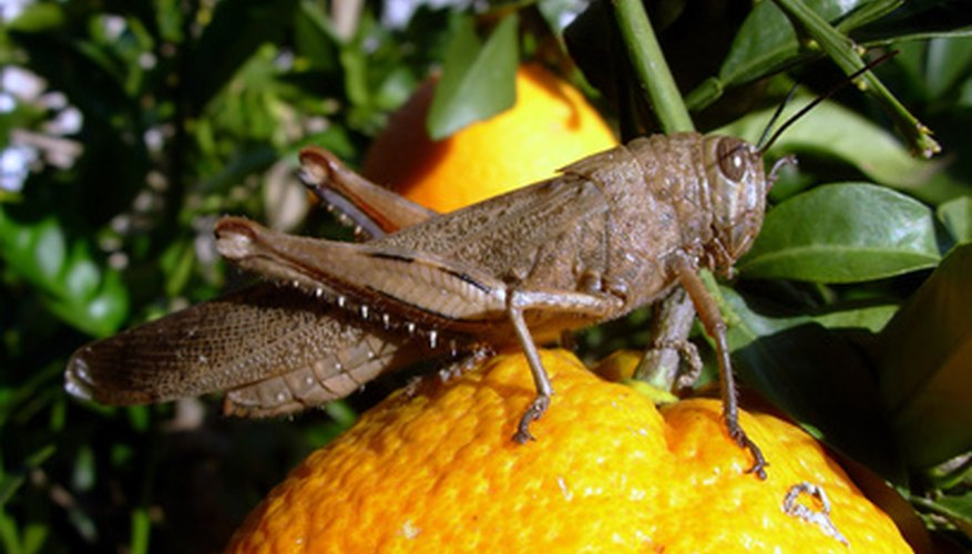 Grasshoppers cause damage to hundreds of crops every year.