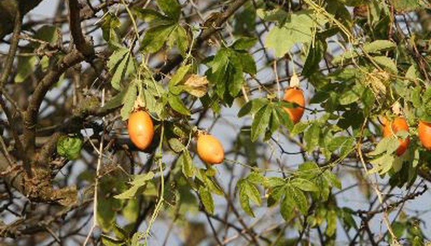 Passion fruit vines in a tree.