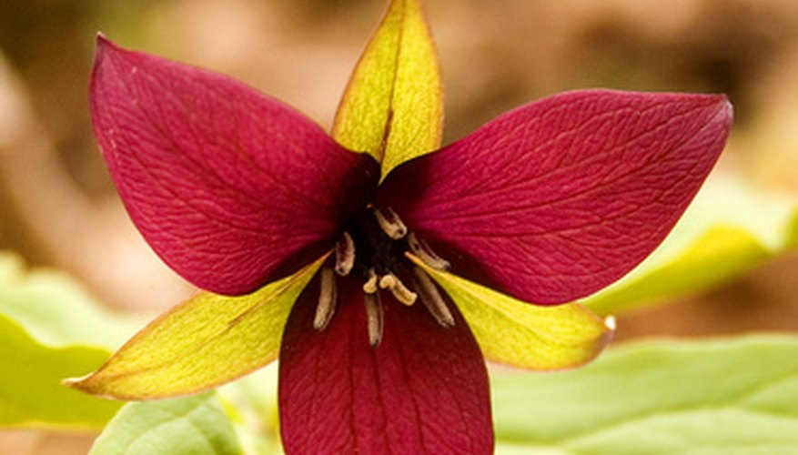 Georgia's native Rose Trillium flower