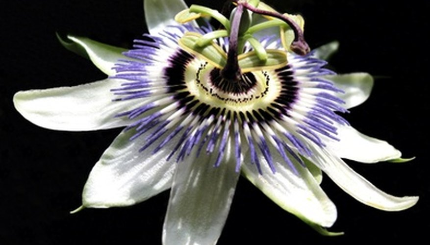The outstanding passion flower.