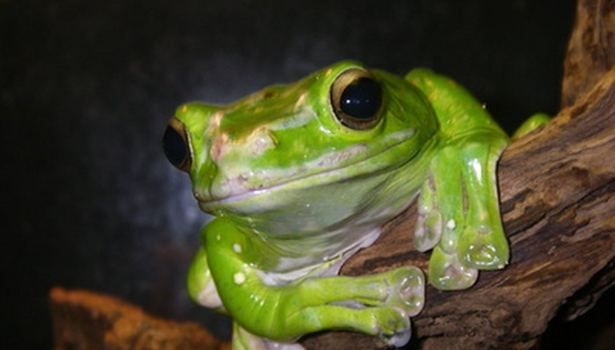 Tree frogs are part of a rain forest ecosystem.