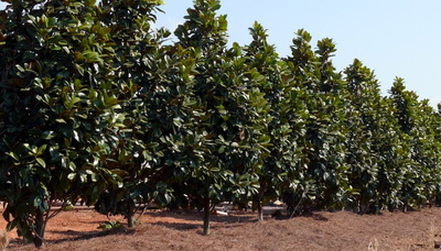 Magnolias fed balanced low-nitrogen fertilizer grew better in trials.