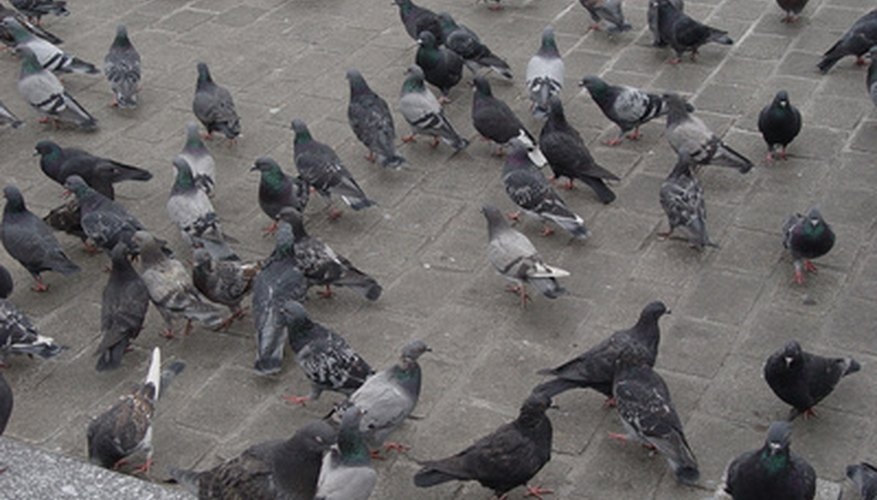 Pigeons can destroy your property with their unwanted nests.