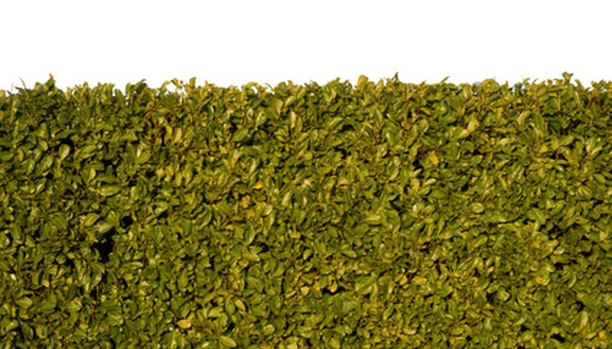 A hedge of boxwood makes a living fence.