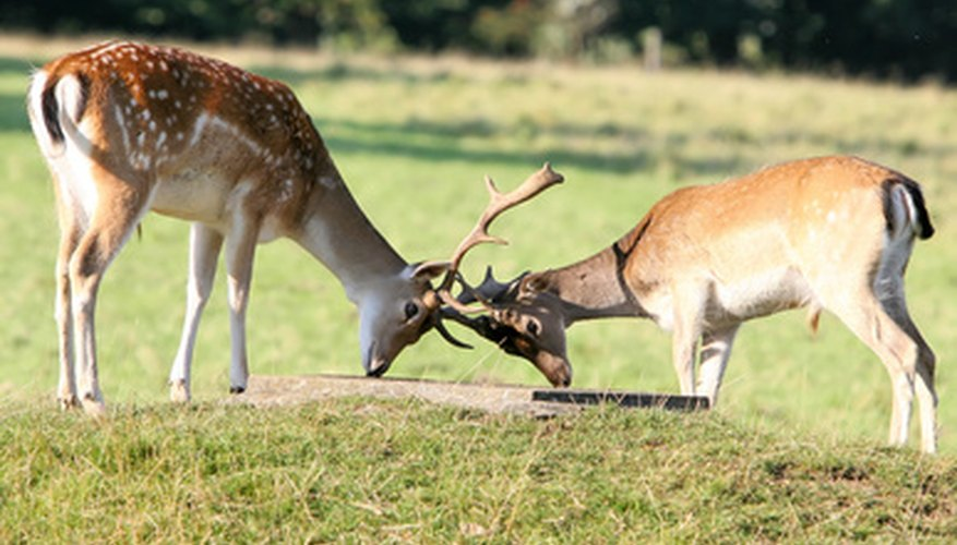 Bucks can get  hopelessly interlocked during combat and die of starvation.