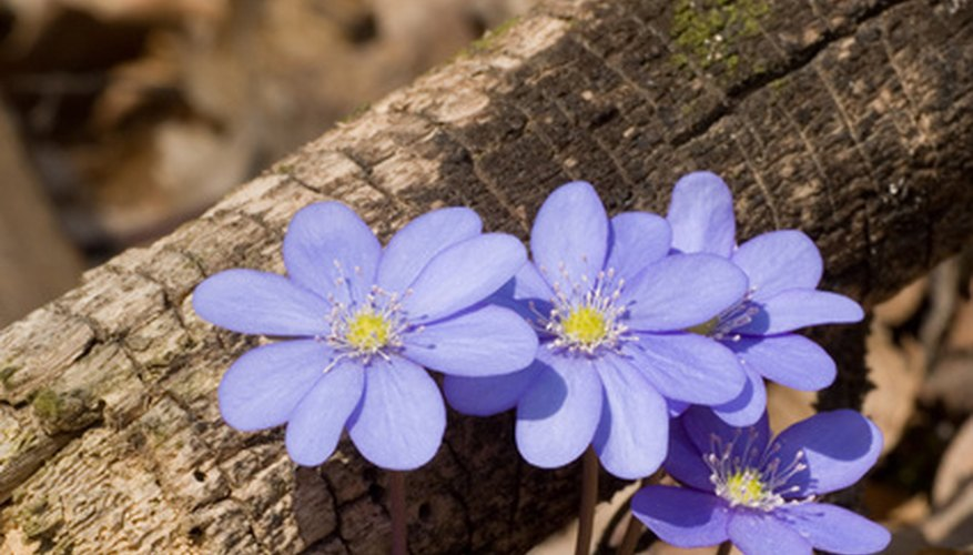 Georgia's native Hepatica flower