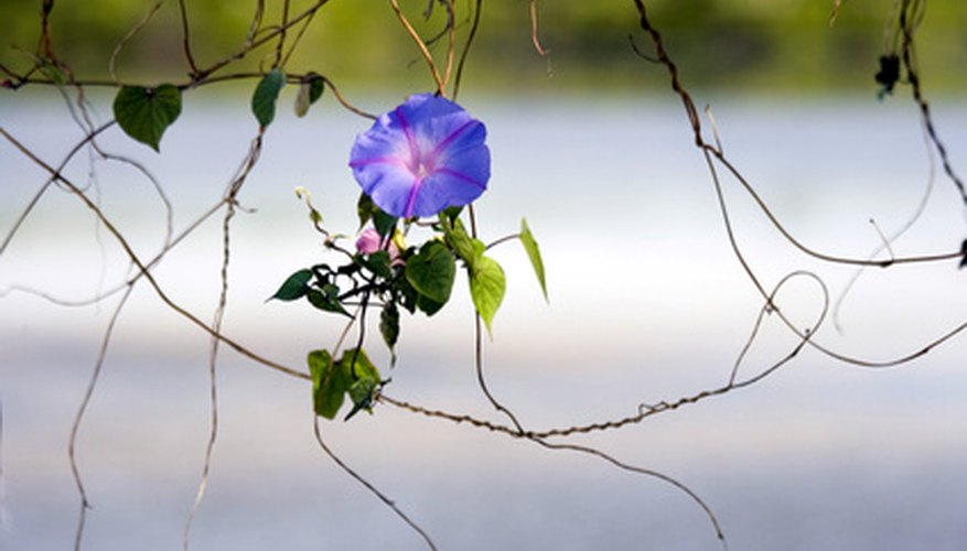 The vining, single-stemmed morning glory grows 10 to 15 feet.
