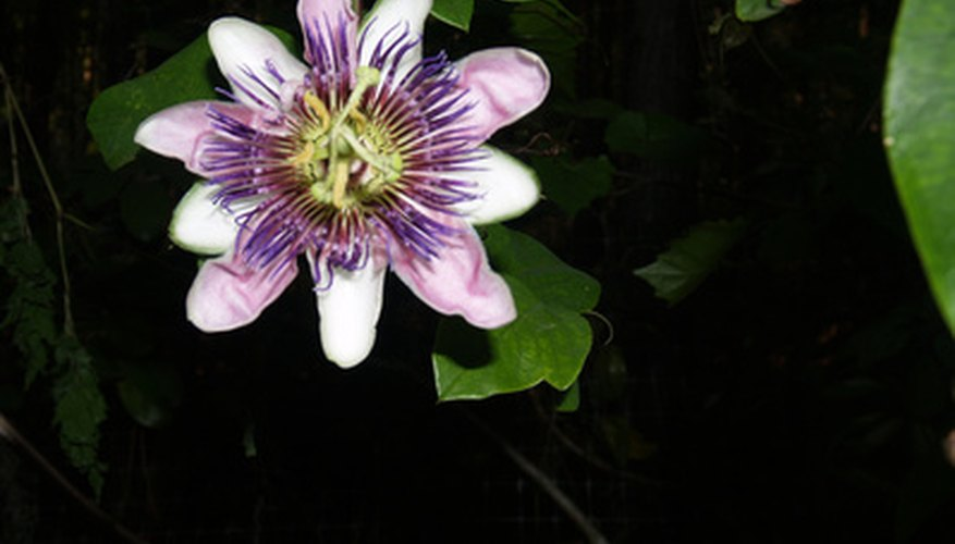 Passion flower vines grow beautiful blooms.