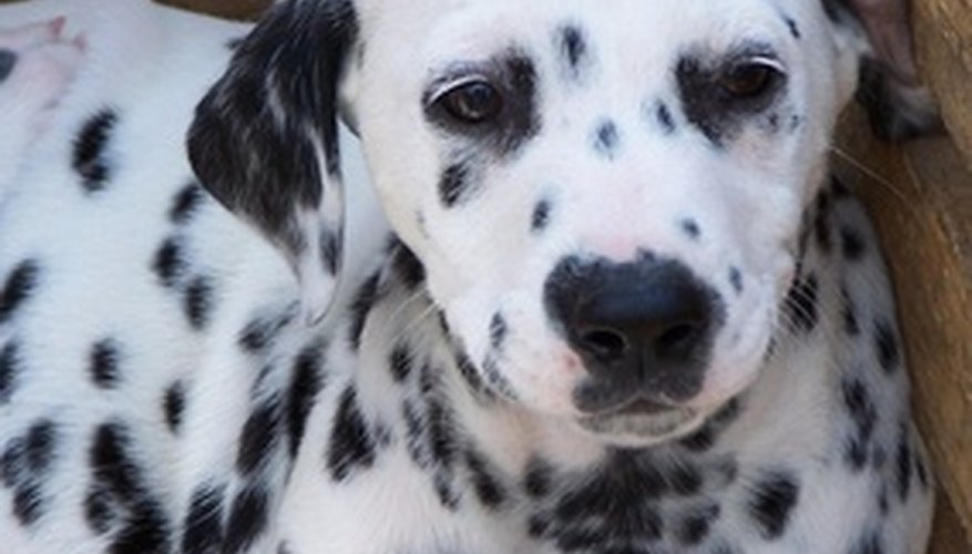 Cruella is obsessed with getting fur from Dalmatian puppies.