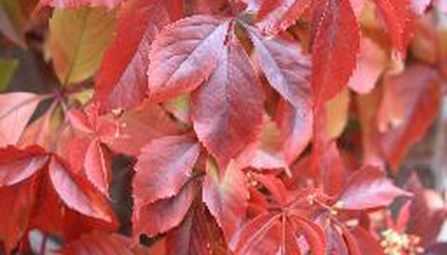 Virginia creeper is native to the southeastern United States.