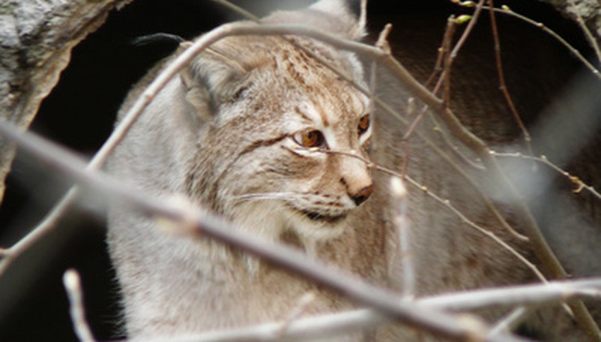 Bobcat tracks are similar to coyote tracks.