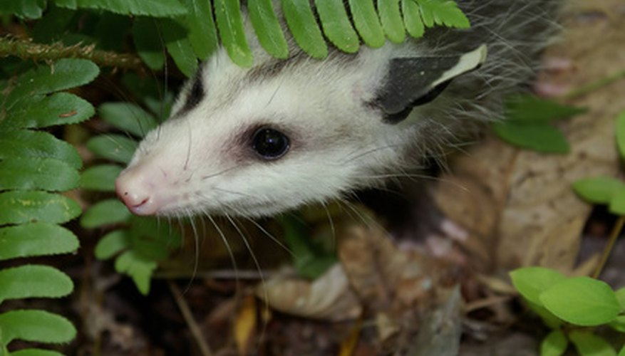 Opossum prints can be seen in both the city and countryside.