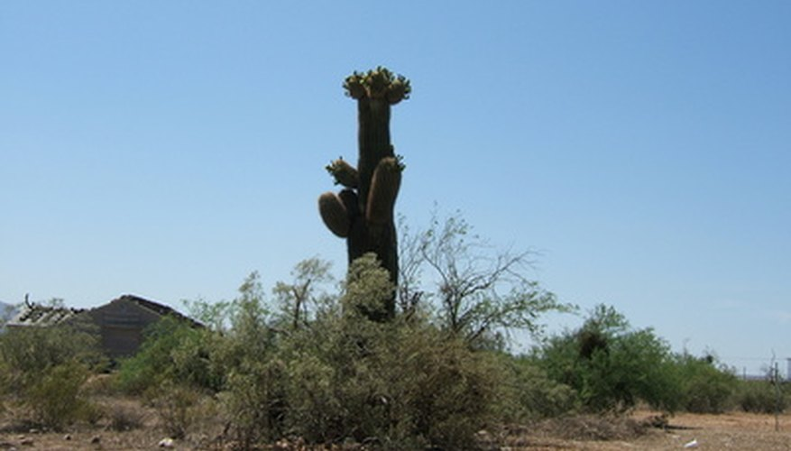 Arizona's unique climate supports one of the world's largest groups of cacti, including the majestic and long-lived saguaro.