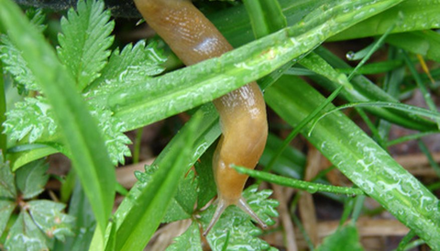 Slugs live in decaying matter in the shade of leaves.