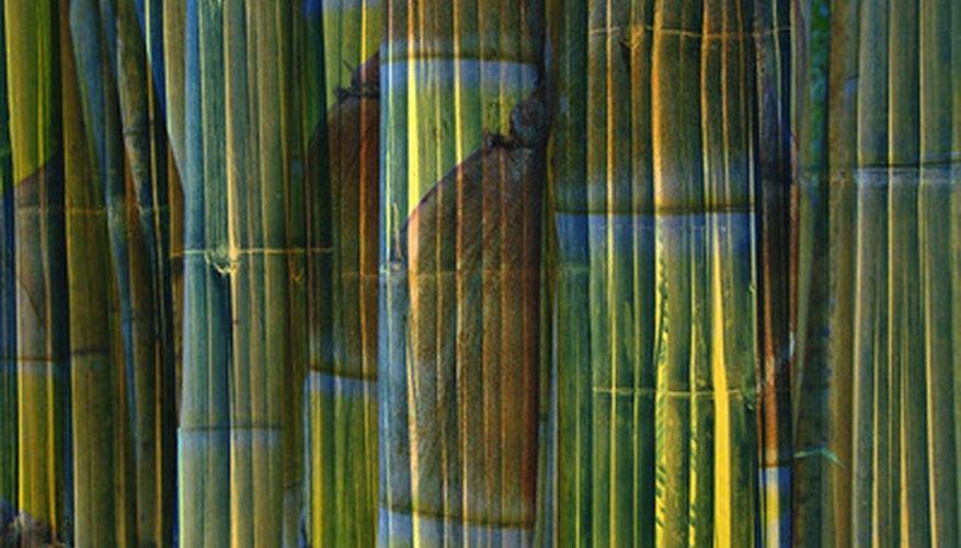 Bamboo can be used green or dried in the landscape.