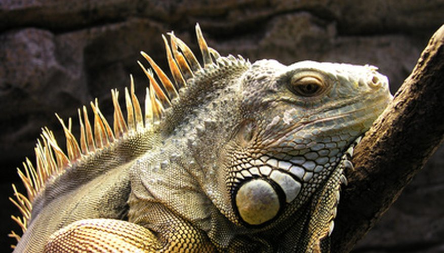 Iguanas come in a variety of colors so choose the colors you like most when making your costume.