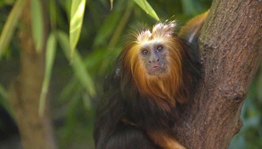 A monkey can use its tree-climbing skills to avoid predators.