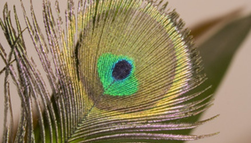 Peacock feathers make for colorful bookmarks.