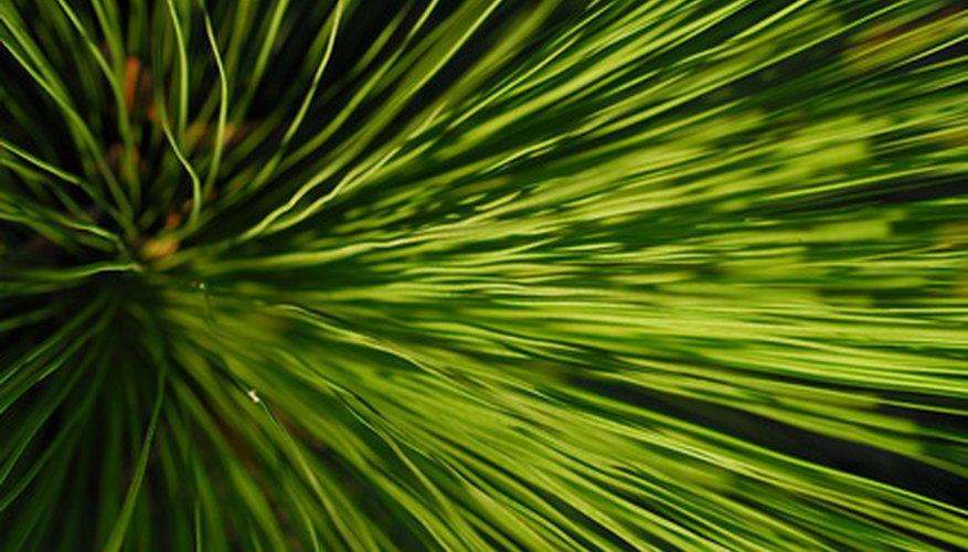 The grass tree is a native Australian plant.