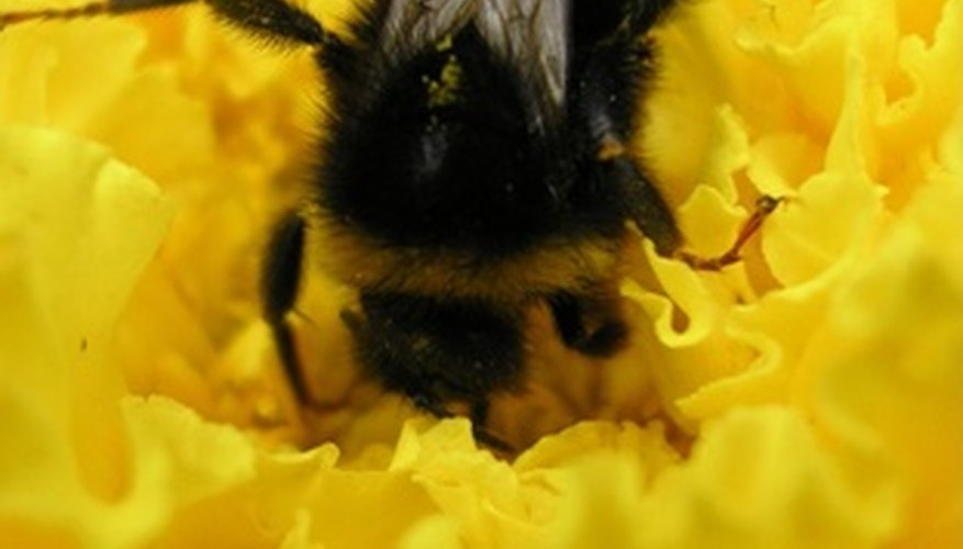 Bumblebees and other ground bees may be dangerous.
