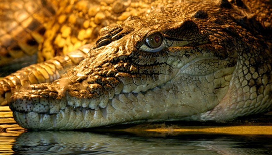 An alligator head can be created out of crafting materials.