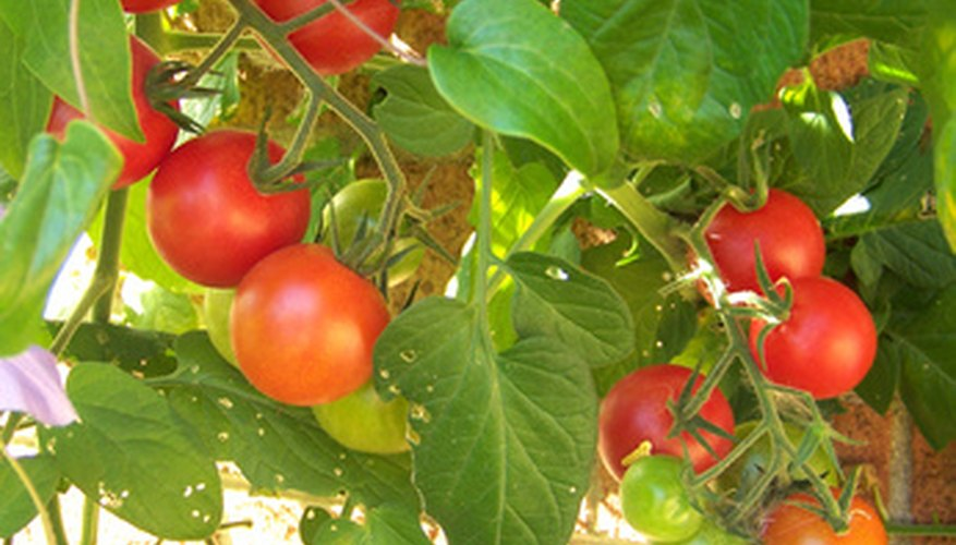 Plant in the spring and fall for a full season of tomatoes.