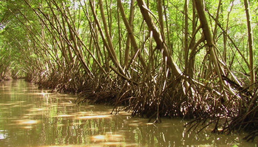 Mangrove trees are adapted to survive in fresh water and saltwater .