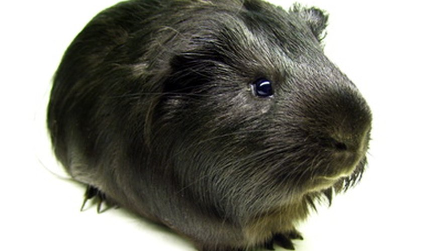 Phoberomys, a giant rodent