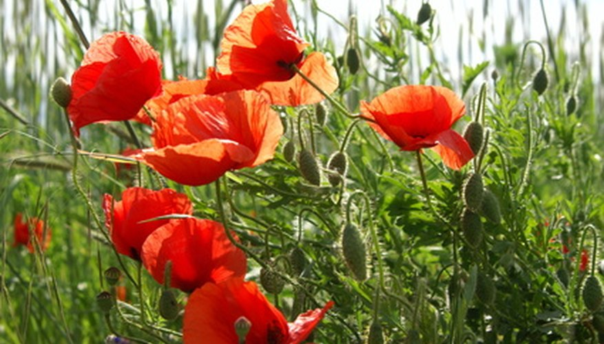 Poppies and other annuals add color to the landscape while attracting honey bees.