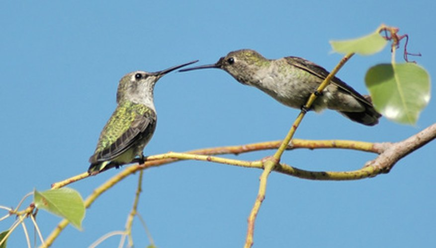 After mating, female hummingbirds raise hatchlings alone