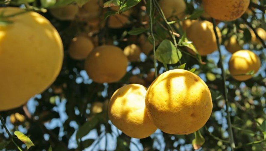 Ripe grapefruits hanging from the branches of a grapefruit tree.