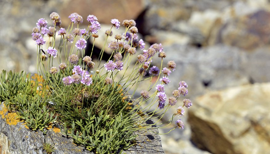 Sea Thrift Flowers In Shades Of Pink White Or Violet Many The Best Plants For Rock Gardens Happen To Enjoy Full Sun