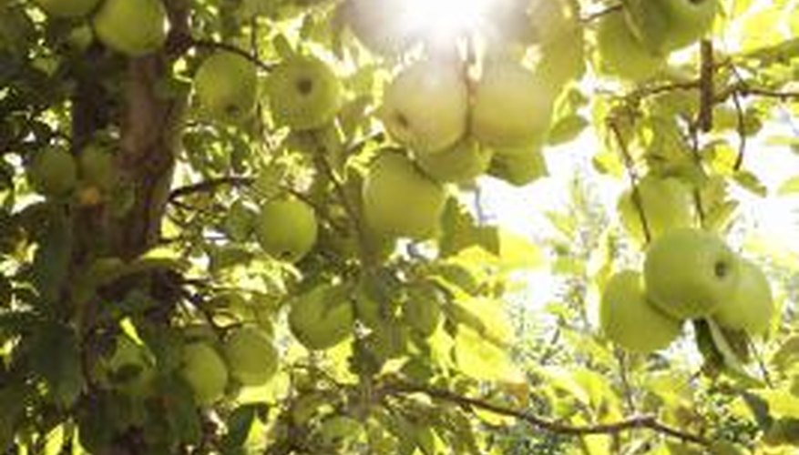 Apple trees are particularly susceptible to Japanese beetle damage.