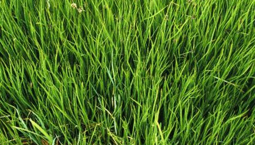 Close up of long grass.