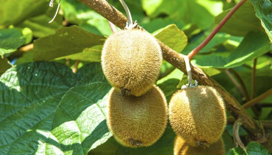 Kiwi fruit grow on a tree.