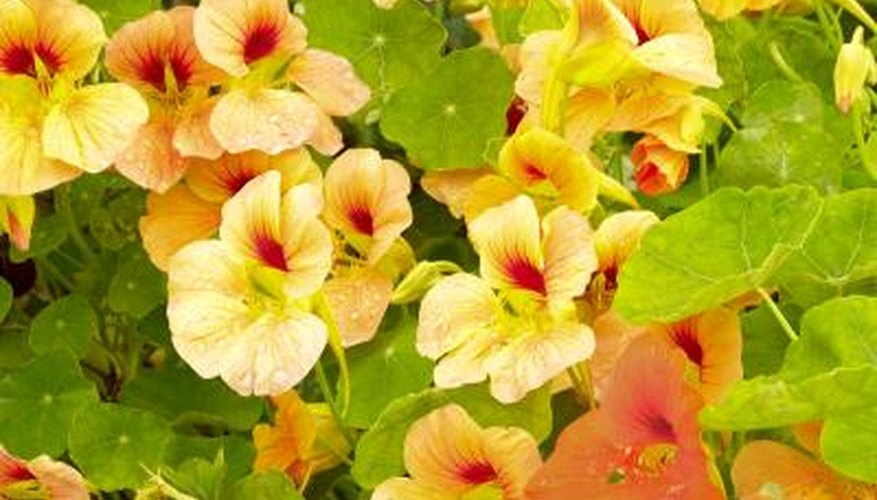 Yellow and orange nasturtium flowers