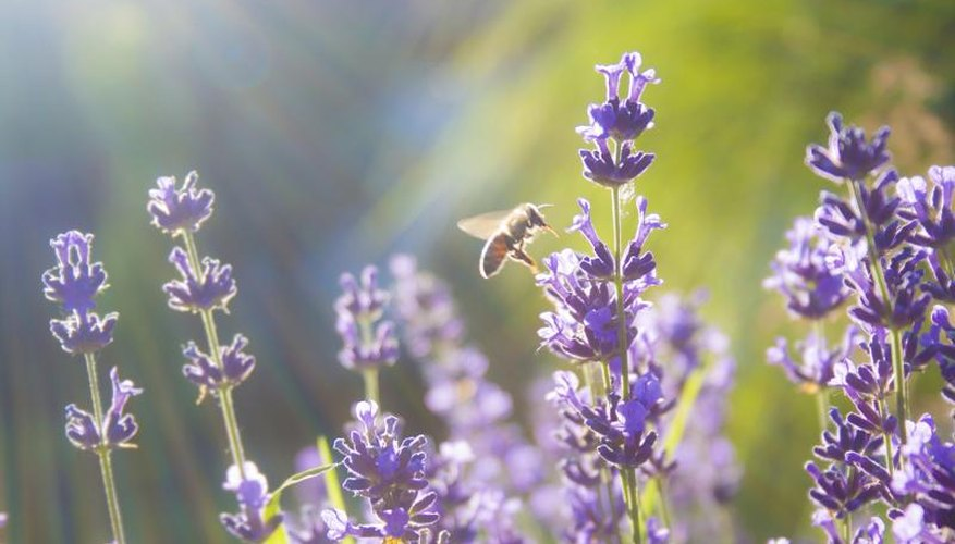 Lavender flowers are best harvested in the morning.