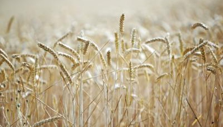 Grains are the seeds of certain plants in the grass family.
