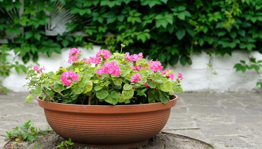 Annual geraniums are commonly grown as bedding plants or in containers.