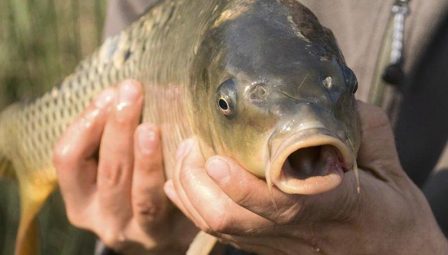How to Chum & Bait Freshwater Fish