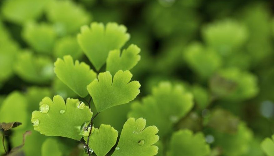 Southern maidenhair fern grows in limestone canyons and creeks of Texas Hill Country.