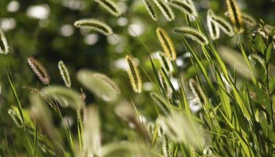 Foxtail Grass Weed